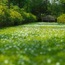 A field of clover is a lovely sight, particularly when it's in bloom.