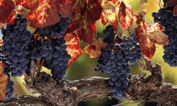 Hopefully, these gorgeous Napa Valley grapes will survive the dangers of global warming.