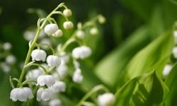 Lily of the valley is a sophisticated choice for a romantic, shady garden.