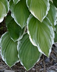 If you're looking for a hardy plant with lots of visual interest, go with the hosta.
