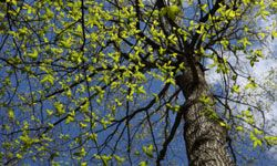 The elm tree is beautiful, but it's hard on those with allergies.