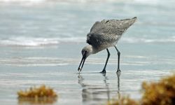A willet fishes for lunch on Padre Island National Seashore.