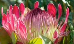 The King Protea has an otherworldly beauty.