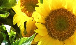 Sunflowers are big blooms of beauty.