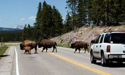 You're likely to encounter some bison crossing the road as you pass through Yellowstone National Park.