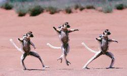 Madagascar's lemurs sashay across open spaces, rather than walking.