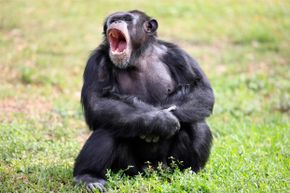 Just like humans, this chimp might be inclined to yawn if he saw a picture of a pal yawning.