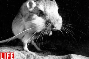 That's actually a kangaroo rat. Those huge cheek pouches are good for taking food or nest material back to its burrow. Are they good for laughter, too?