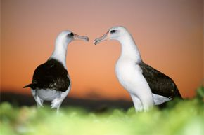 The Laysan albatross motto: We keep you guessing.