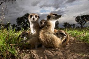 These adult meerkats don't seem to be seizing the teaching moment.