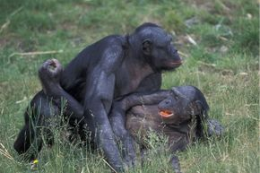 This pair of bonobos may be defusing a conflict right now!