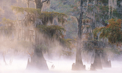 The unique scent of cypress is used in many popular fragrances for both men and women.