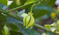 The flowers of the ylang-ylang tree are as fragrant as they are unique.