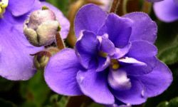 Whether it's in your garden or in a pot by your kitchen sink, you can't go wrong with a sturdy, pretty African violet.