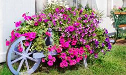 Perky petunias will provide your garden with long-lasting color from springtime until the first frost.