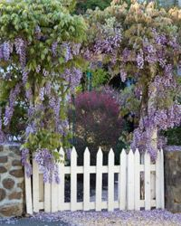 Wisteria will infuse your garden with a lovely, delicate fragrance.