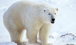 The polar bear is native to Alaska.
