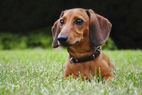 Giving your grass a too short haircut can damage your lawn's health. Plus, it's not dog-approved.