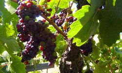 Some of California's famous Zinfandel grapes on the vine.