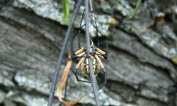 If you find yourself in Brazil, keep an eye out for this wandering spider. Its venom is highly toxic.