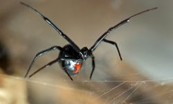 The black widow spider has a nasty reputation but keeps mostly to itself unless it's disturbed.