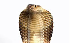 The king cobra's hood comes from muscle and rib action in the snake's neck -- a defining feature that adds to its legend.