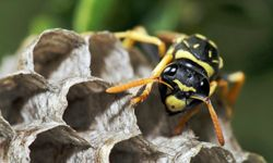 Paper wasps build easily identifiable honeycomb nests. They'll often rebuild in locations where other successful nests were in the past.