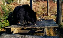 This hungry bear may have had a tough winter.