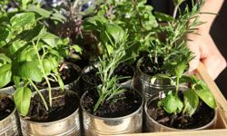 Used aluminum cans make excellent planters for sprouting herbs.