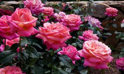 If you're a lover of the sight and smell of roses, this garden might be the right one for you.