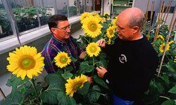 Geneticist Jerry Miller (left) and technician Dale Rehder pollinate sunflowers to develop new inbred lines that produce oil in the mid-oleic range.