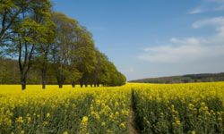 Yellow rapeseed is used to make biodiesel, and holds up in cold climates.