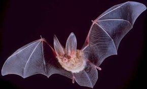 Bats get a bad rap: They prefer insects to blood.