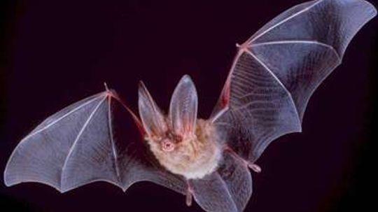 13 Incredible Bat Facts