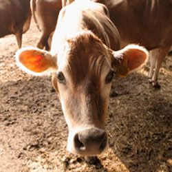 This bovine could be producing rBGH milk -- who knew cows were so controversial?