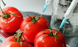 Currently, no genetically modified tomatoes are being sold in North America or Europe.