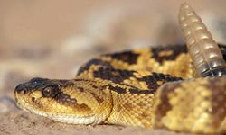 """A frightened rattlesnake will probably just give you a little """"love bite"""" to warn you away."""