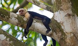 A White-Faced Capuchin rests on tree branch in the Costa Rica rainforest canopy.