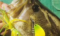 This largemouth bass fell victim to a spinnerbait.