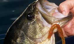 This bass was lured by a plastic worm.