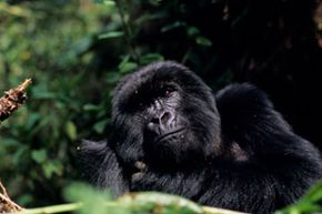 A gorilla safari will get you up-close-and-personal with some of the world's most fascinating animals.