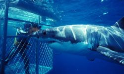 Traditional dives involve releasing heavy metal cages into areas where Great Whites reside.
