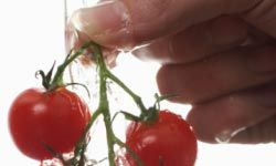 Nutritious and delicious, cherry tomatoes are a bite-sized favorite. See more heirloom tomato pictures.