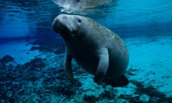 This manatee is in a river off the west coast of Florida.
