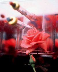 A rose growing aboard the space shuttle resulted in a brand-new fragrance.