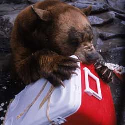 This cooler is no match to a hungry black bear's jaws and claws.