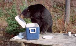 A bear joins some campers for lunch. See more pictures of mammals.