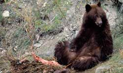 A bear dining on a deer carcass in Yellowstone National Park.