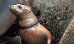 An abandoned gill net strangles a sea lion.