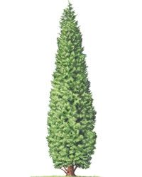 Illustration of a Leyland cypress, an evergreen with an upright growth habit.